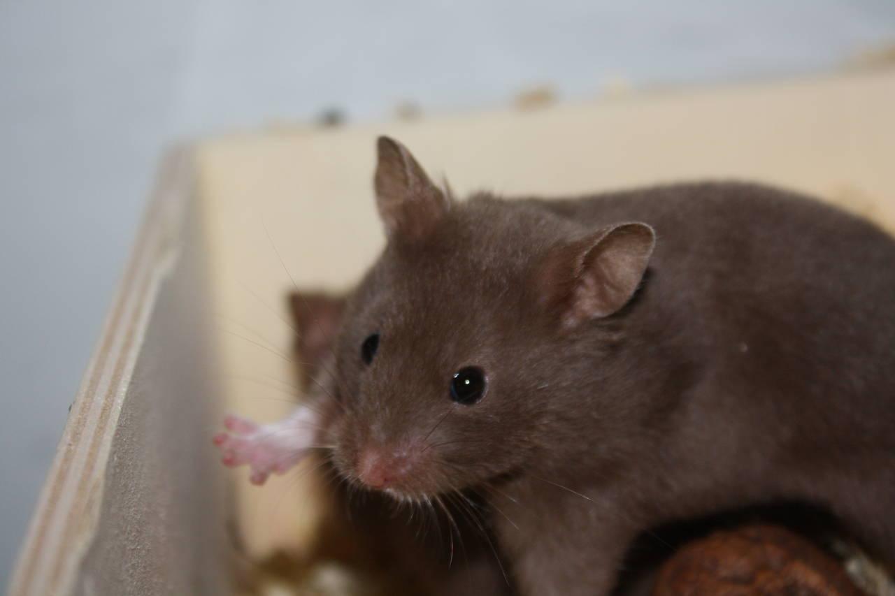 Hamsterzucht München van Zeeland Seriöse und verantwortungsbewusste Hamsterzucht
