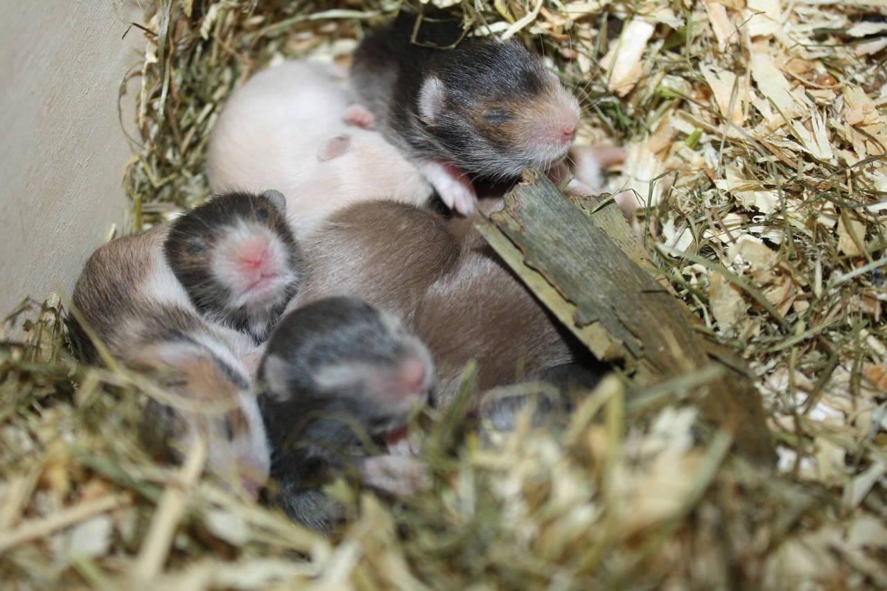 Hamsterzucht München van Zeeland Seriöse Hamsterzucht und artgerechte Haltung!!! Goldhamster und Teddyhamster München
