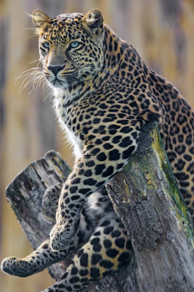 leopard jagdweise langer text