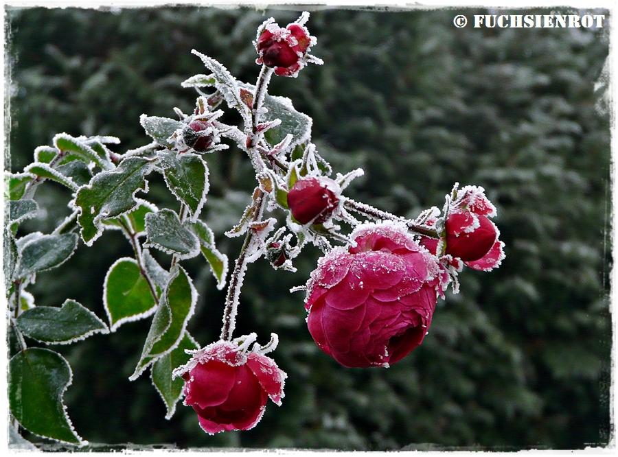 Frostige Rose