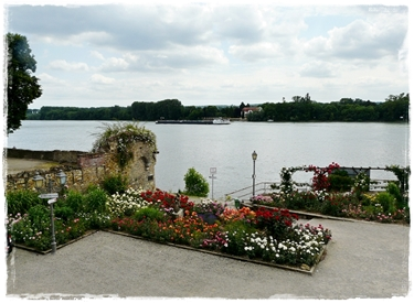 Rosen am Rheinufer