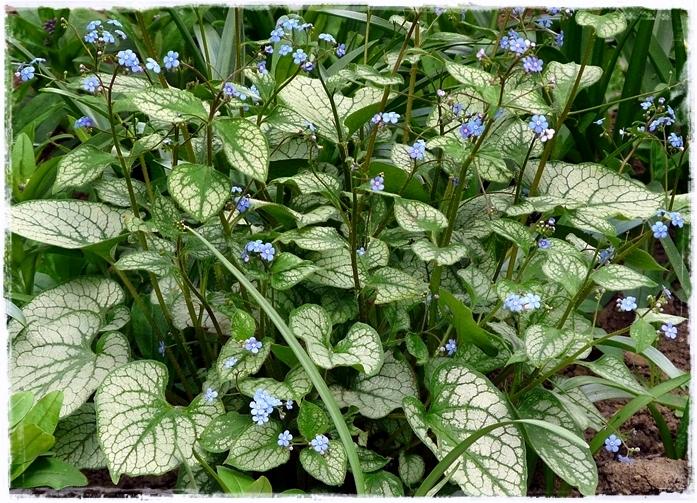 Brunnera macrophylla 'Jack Frost' ist mein liebstes Kaukasusvergissmeinnicht.