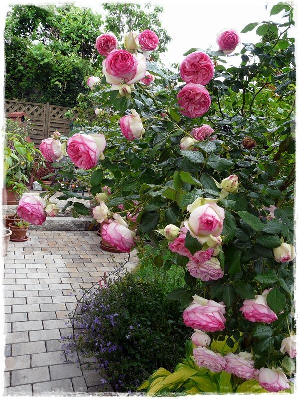Eden-Rose 85