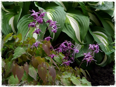 Epimedium grandiflorum 'Lilafee' - eine bezaubernde Elfenblumensorte.