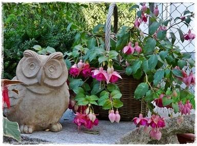 Fuchsie 'Garden News' im Korb