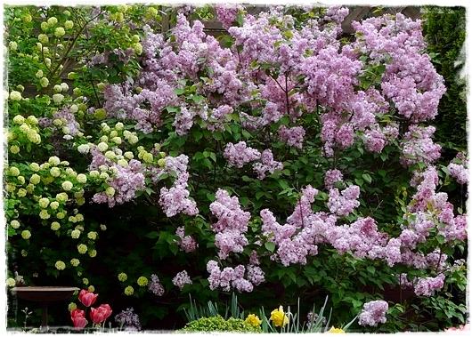 Fliedersorte  'Rosenrot' (Syringa hyacinthiflora)