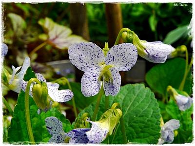Viola sororia 'Freckles' - ein Pfingstveilchen mit blau-weiß gesprenkelten Blüten.