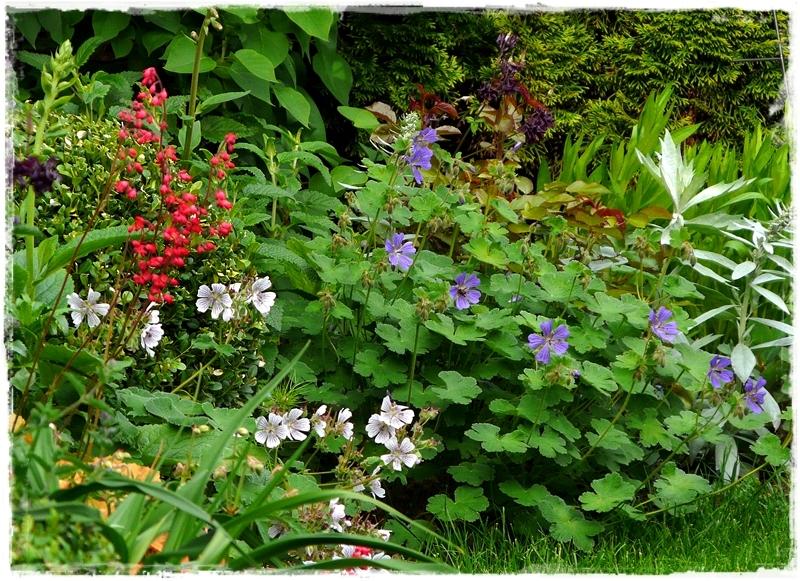 Gartenblick mit Storchschnäbeln