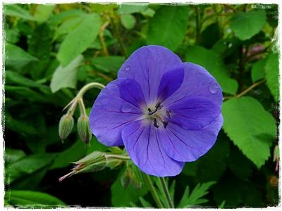 Geranium Pratense-Hybride 'Brookside'