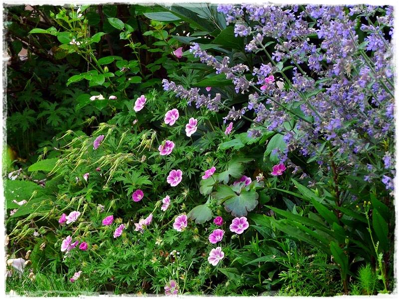 Geranium Elke zwischen Katzenminze und Rosen