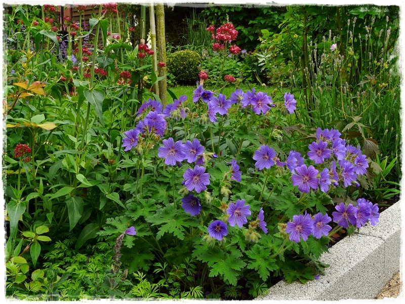Geranium x magnificum 'Rosemoor' - Pracht-Storchschnabel