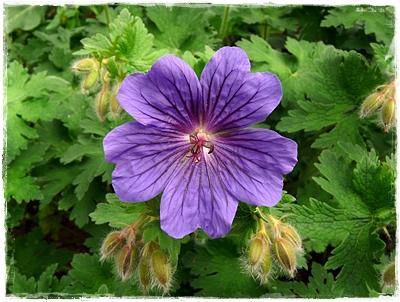 Einzelblüte von Geranium x magnificum 'Rosemoor'