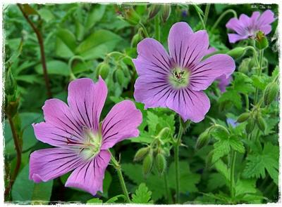 Geranium 'Sirak' - Blüten
