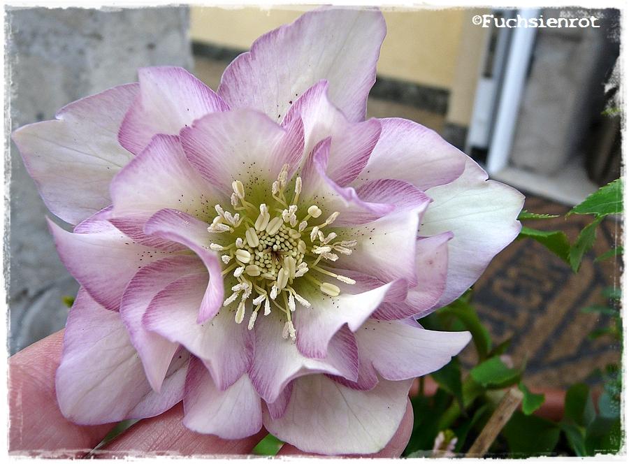 Blüte von Helleborus orientalis 'Frilly Kiddy'