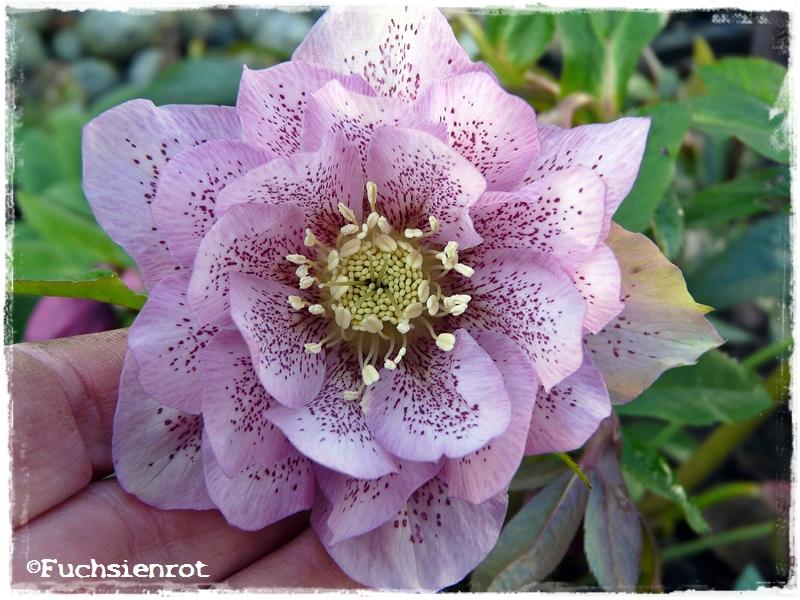 Blüte von Helleborus orientalis 'Phoebe'