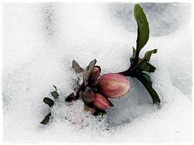 Ersten Knospen von H. ericsmithii im Schnee