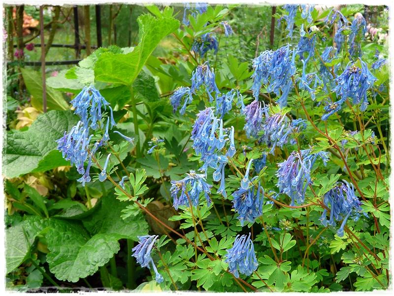 Corydalis Hybride 'Spinners' - Blauer Lerchensporn