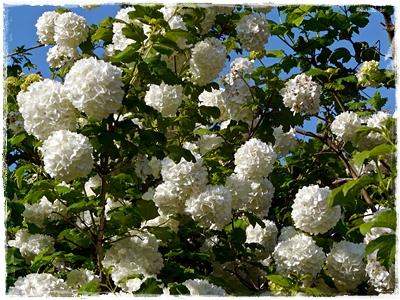 Schneeball (Viburnum opulus) 'Roseum' zur schönsten Blütezeit