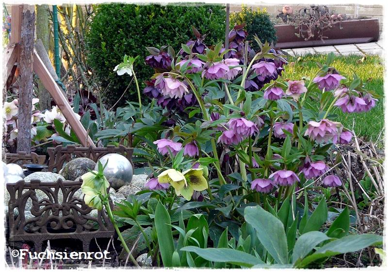 Verschiedene Helleborus orientais - Hybriden