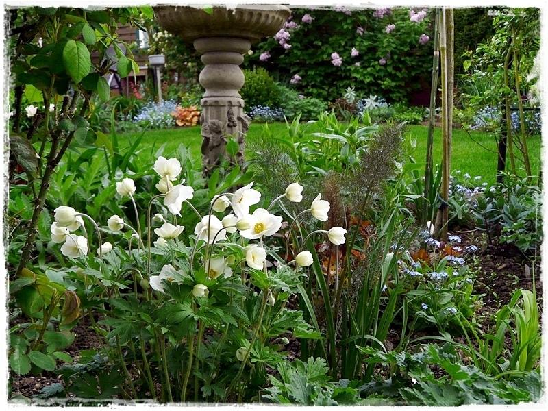 Anemone sylvestris - im Frühling blühende Wald - Anemone