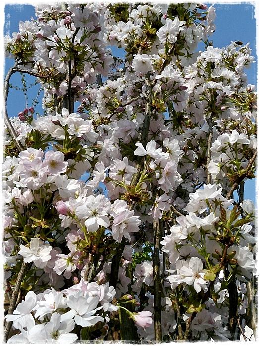Säulen-Zierkirsche (Prunus serrulata) 'Amanogawa' zur Blütezeit