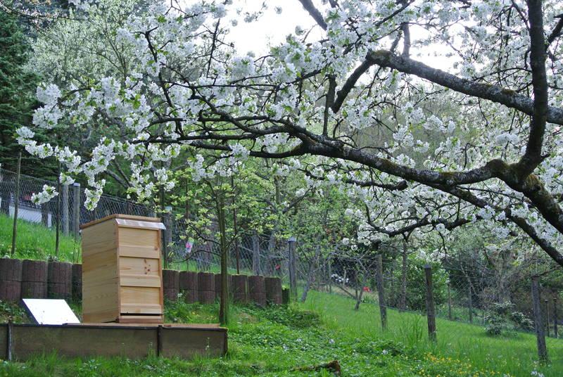 Bienenstock zur Kirschblüte 2013