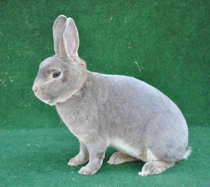Dieser Typus sollte beim männlichen Kleinrex Kaninchen in allen Farben erreicht sein.