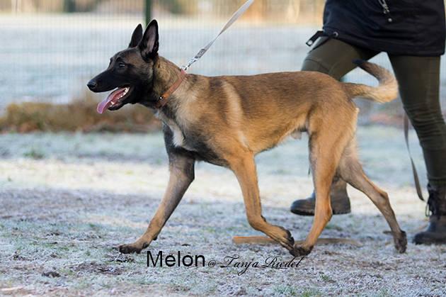 Diensthunde vom diensthundezwinger