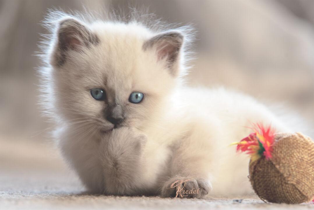 Süße Birma Kitten Zuhause Fotografie Tiere Fotografieren