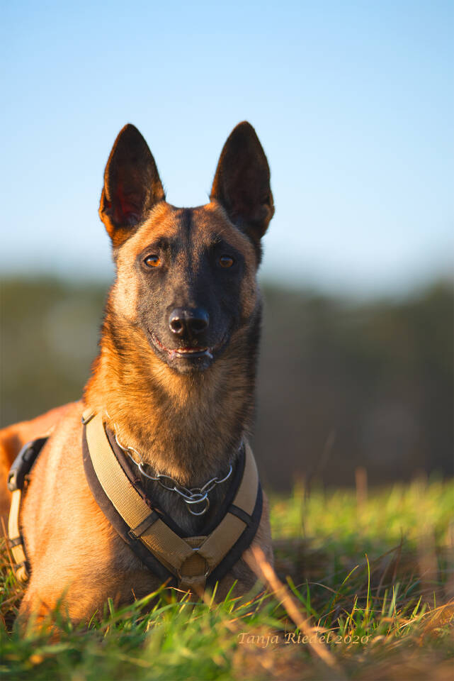 Malinois Hund Fotografie Haustier