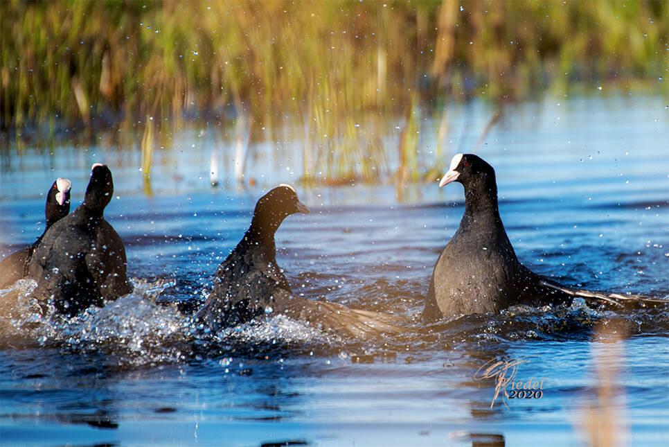 Wildlife Fotografie der Blässhühner im Wasser