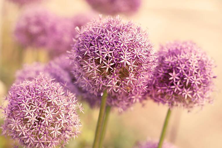 Sommer Blüten Träume aus dem Garten, großer Allium