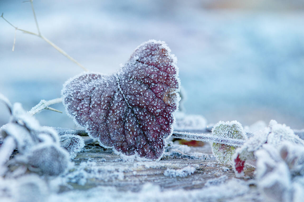 Fühle den Herzschlag, ein winterliches Blatt geformt zu einem Herzen, mit leichtem Frost überzogen und winterlichem Blau, ein dekorativer Blickfang mit tollem farbspiel