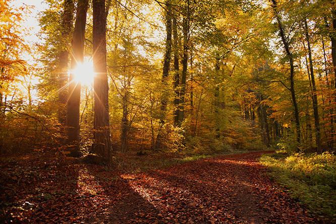 Lichter Zauber im Herbst im Rotbuchenwald, herrliche Landschaft mit Sonnenaufgang