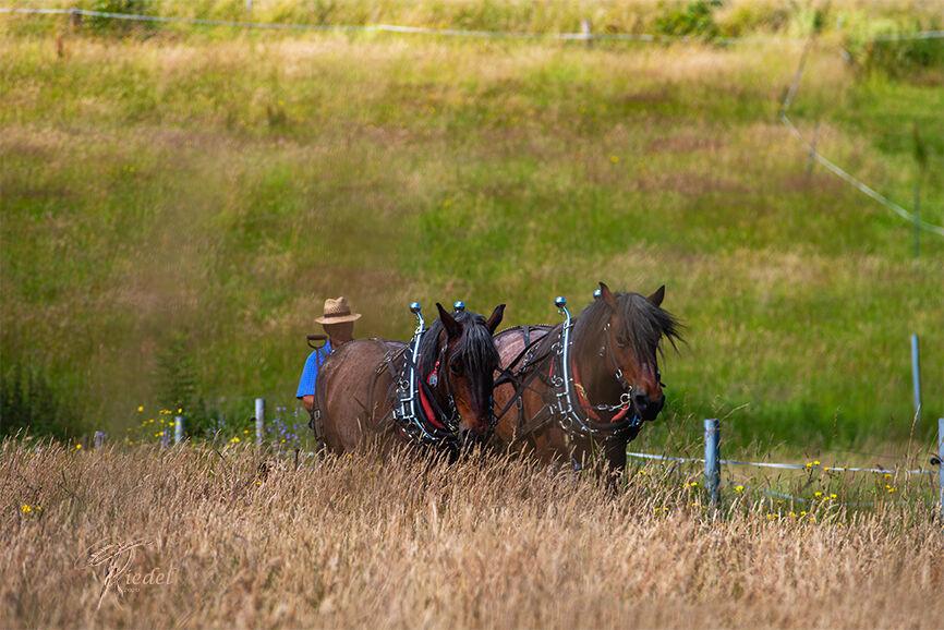 Heuen mit rheinisch deutschem Kaltblut Pferden