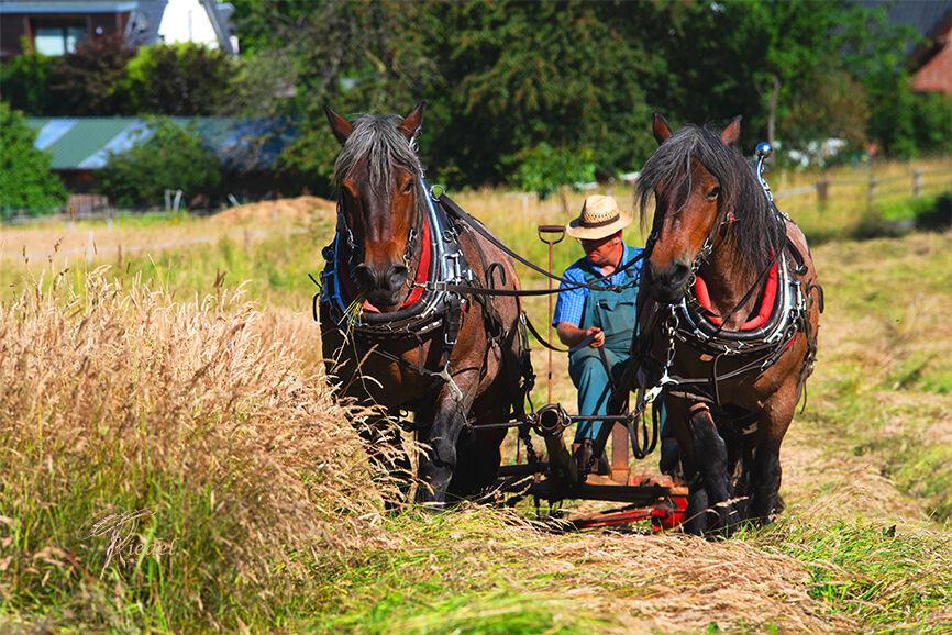 Heuen mit Kaltblut Pferden