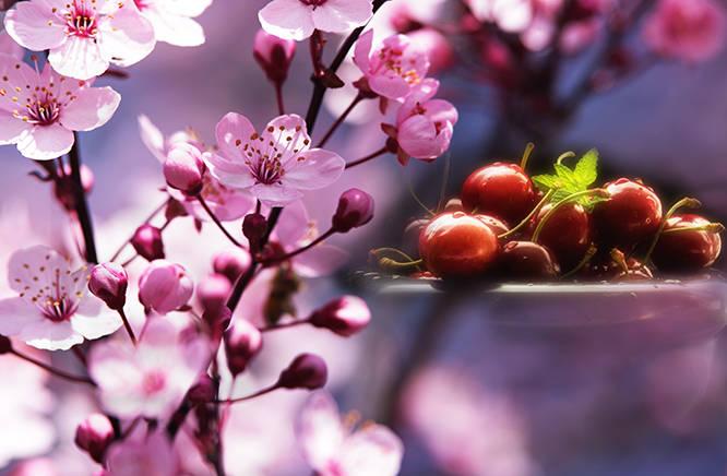 Rosa Kirschblüten Zeit, mit frischen Herz Kirschen im Hintergrund, dekoratives Design, für die Frühling Dekoration in ihrem Zuhause