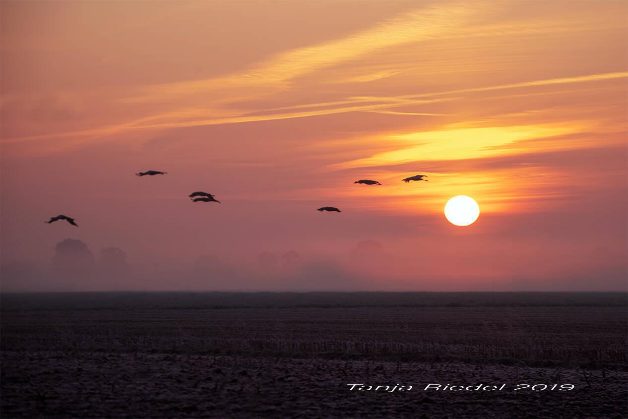 Kraniche im Anflug im Sonnenaufgang