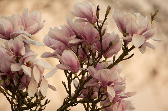 Elegantes Magnolien Blüten Bild zur Dekoration