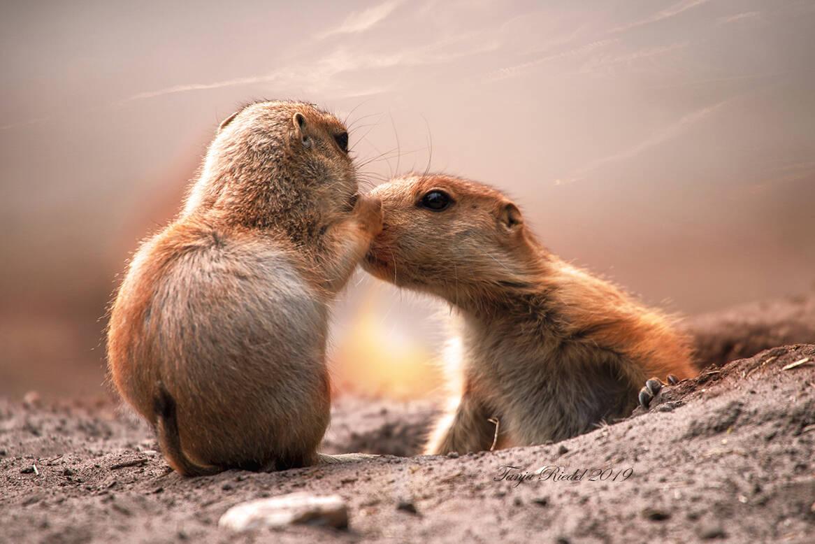 Hab Dich lieb Mama zwei Murmeltiere die sich Liebkosen