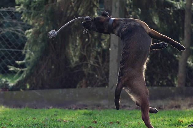 Belgischer Schäferhund Malinois Rüde