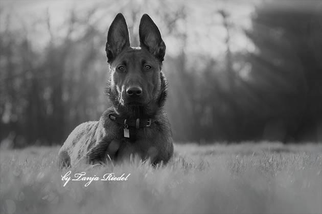 Belgischer Malinois Schäferhund