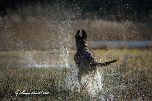 Malinois Hund spielt im Wasser