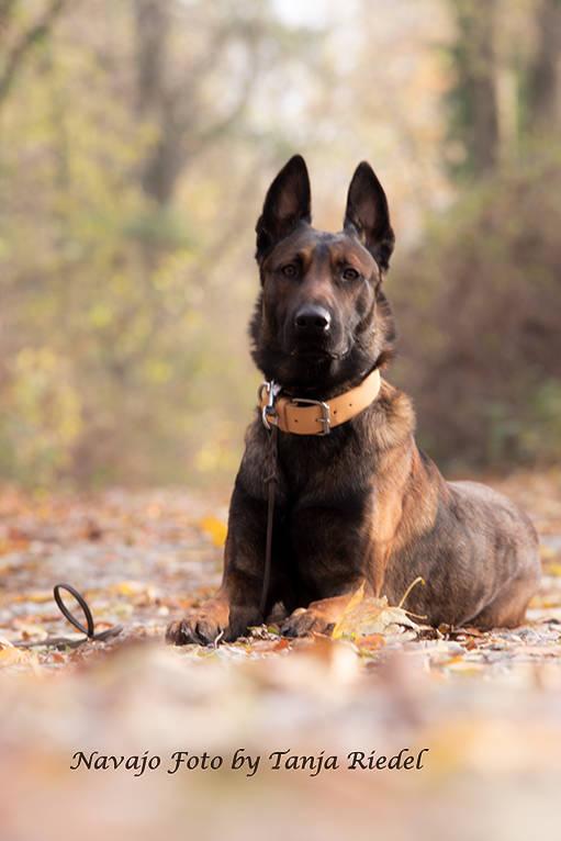 Navajo Malinois Deckrüde dunkel brauner sozialisierter und gut arbeitender Hund