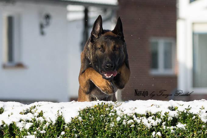 Navajo Malinois Rüde BRN Nummer 32428, ein Hund im Sprung