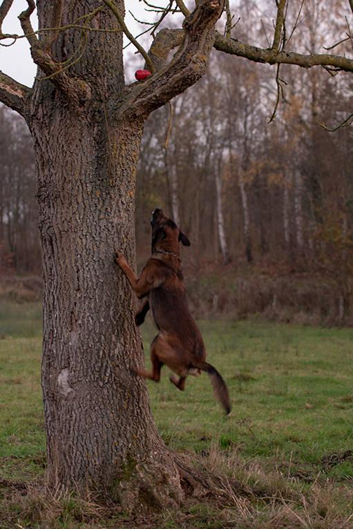 Rüde Malinois Schäferhund