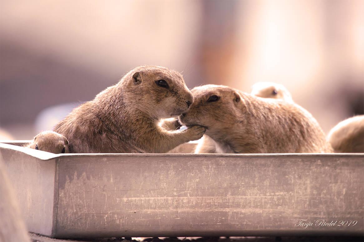 Nicht einschlafen zwei Murmeltiere im Futterkasten