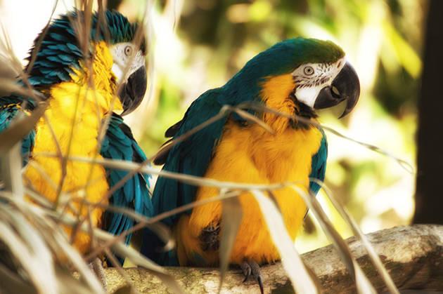 Ara Papageien am Spielen in den Bäumen