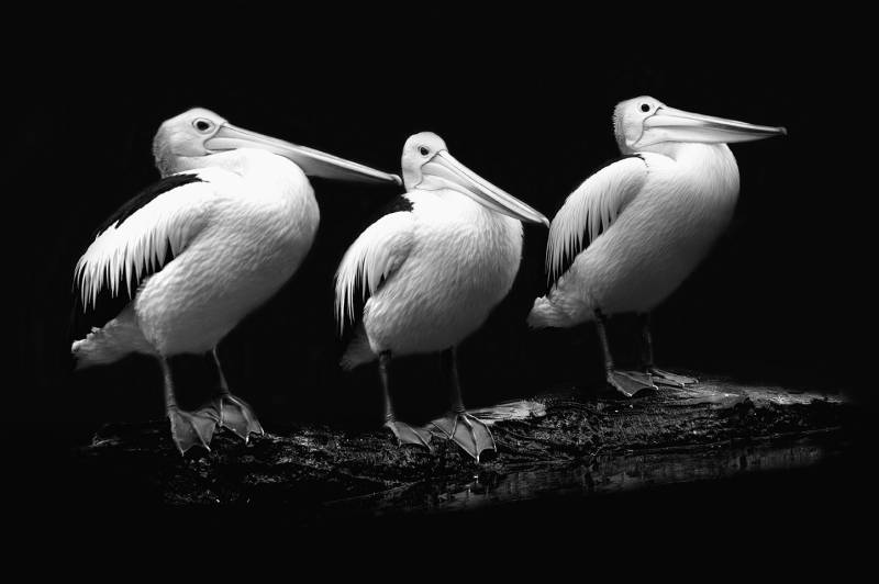Pelikan Trio in schwarz-weiß