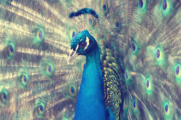 Schönheit des Vogel eines Pfauen in der Balz